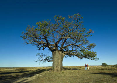 The Dinner Tree at One Mile Camp, part of the Derby Pastoral Trail